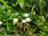 Лилии озера Hevis